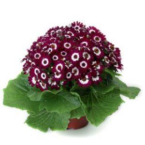سفارش اینترنتی گلدان گل سینره سال نو