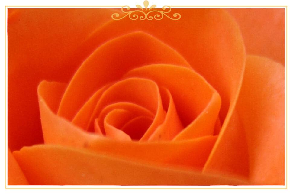 معنی گل رز نارنجی