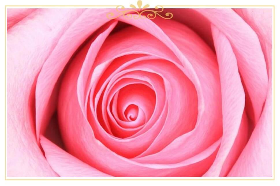 معنی گل رز صورتی