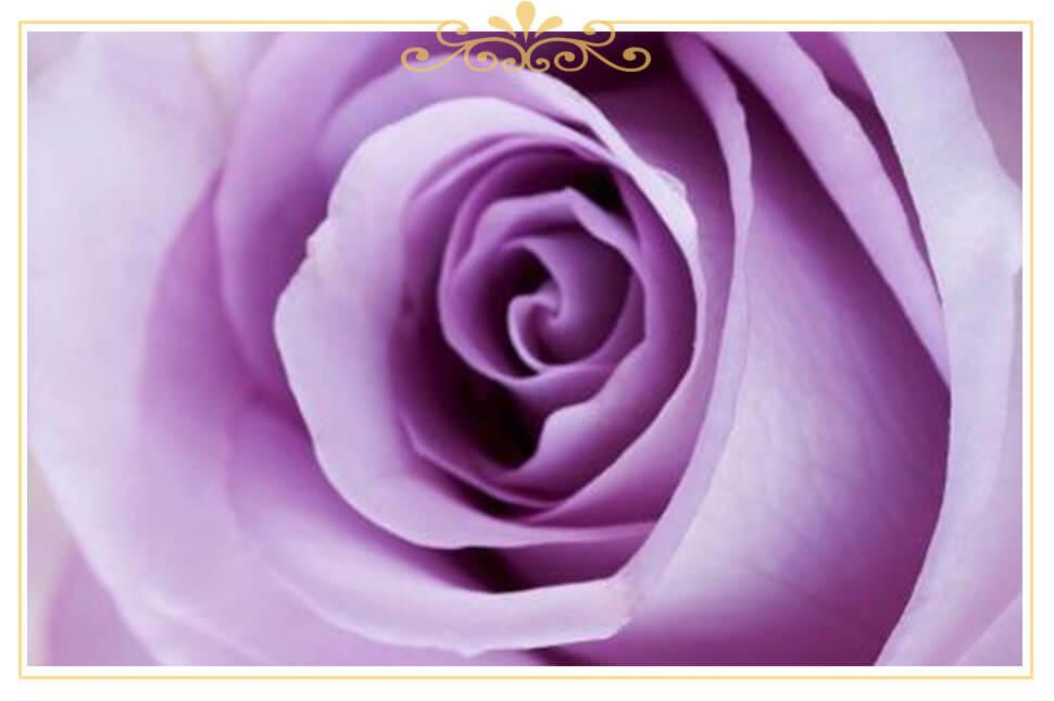 معنی گل رز بنفش