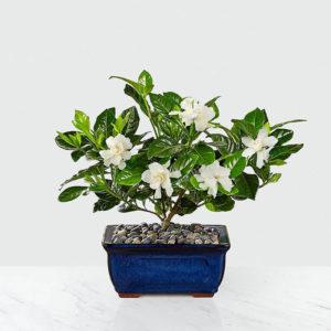 گلدان گل بن سای شکوفه دار