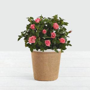 گلدان رز صورتی (آمریکا)